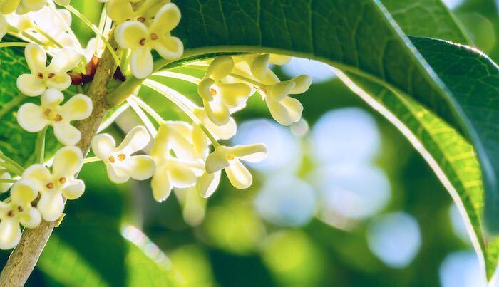 開花期:9~10月 分類:常緑高木 樹高:5~6m ギンモクセイの特徴 ギンモクセイは秋に白い小花を咲かせる常緑高木です。近縁種のキンモクセイの方が有名ですが、白花を咲かせるギンモクセイも甘い芳香があります。