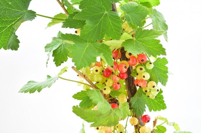 学名:Ribes rubrum 英名:Red currant 仏名:Groseille フサスグリは初夏に真赤な果実を実らせます。透明感のある、直径6~7mmの真赤な実をブドウのように、房状に実らせます。