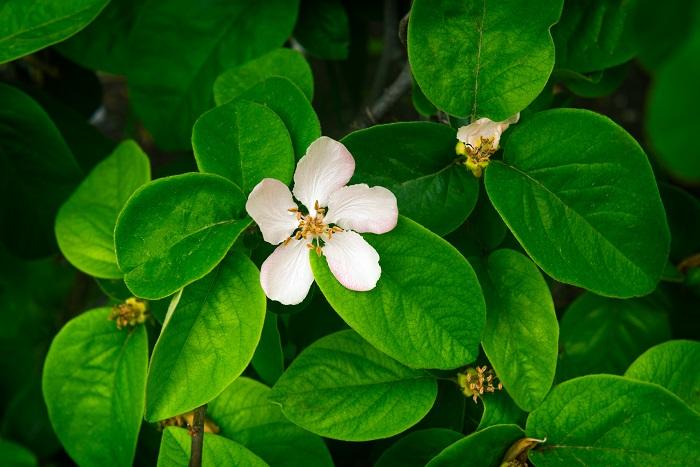 科名:バラ科 分類:落葉低木 マルメロは春に白や淡いピンクの可愛らしい花を咲かせ、秋には甘い果実を実らせる落葉低木です。低木といっても樹高は3m程です。