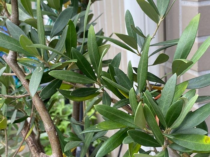 科名:モクセイ科 分類:常緑高木 オリーブはくすんだようなグリーンが印象的な常緑高木です。葉の色が柔らかい上に葉も細く、その姿はどこか涼し気です。葉の密度はあまり高くないので目隠しとして弱いかもしれませんが、樹形が美しいのでシンボルツリーに向いています。