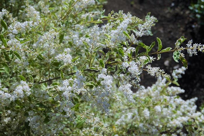 科名:モクセイ科 分類:常緑~半落葉低木 シルバープリベッドは別名をセイヨウイボタノキともいい、斑入りの小葉が印象的な低木です。低木なので生垣にされているのをよく見かけますが放っておくと2m程まで生長します。春に香りのよい小さな白い花を咲かせ、冬に真っ黒な小さな果実を付けます。