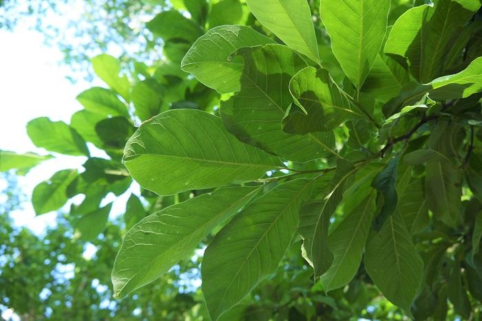 シンボルツリーはなぜ植えるのか、シンボルツリーを植えるメリットを紹介します。  フォーカルポイント フォーカルポイント(focal point)とは、焦点という意味です。お庭をデザインする時に、フォーカルポイントは重要です。シンボルツリーをフォーカルポイントに植えることで、お庭全体の雰囲気に統一感が生まれます。  目隠しとして シンボルツリーを玄関に植えることで自宅の雰囲気を演出したり、外からの視線を遮る効果も期待できます。  特にスモールガーデンや玄関アプローチなど、あまり広くないスペースに庭木を植える場合は、目隠しを兼ねたシンボルツリーを選ぶとよいでしょう。