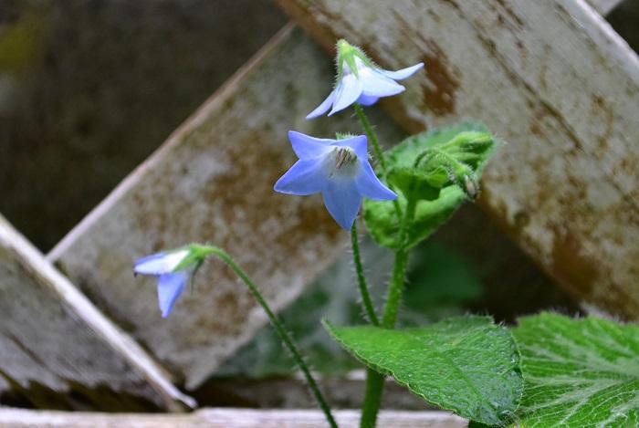 クリーピングボリジは一般的なボリジとは違い、匍匐性の多年草です。株全体がゴワゴワとした固い剛毛に覆われています。  一年草のボリジは立性で地植えにすると1m近くに生長しますが、クリーピングボリジは横に這うように広がって生長するため花丈は20~30cmほどです。花の開花時期もボリジは春に咲くのに対して、クリーピングボリジは春から秋のとても長い期間花を咲かせます。花色は褪せたデニムのような淡い水色で、一年草のボリジに比べると目立たない色です。クリーピングボリジは性質がとても強く、環境に合えばこぼれ種で増えていきます。