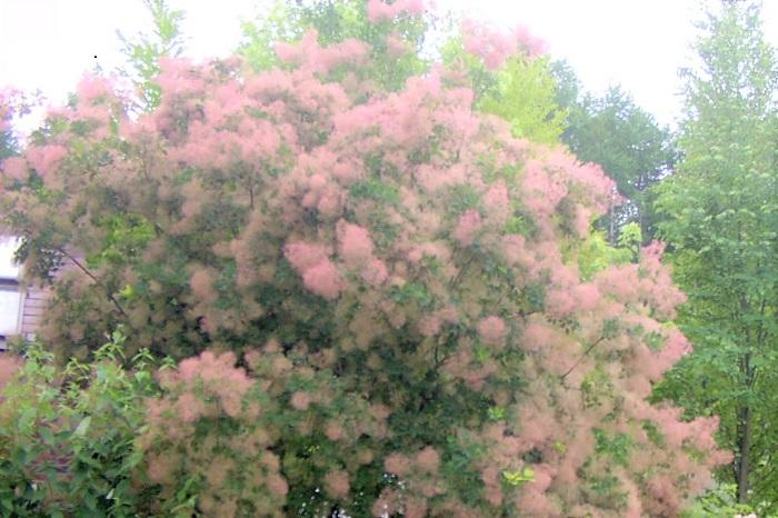 科名:ウルシ科 分類:落葉高木 スモークツリーは春の終わりから初夏にかけて、名前の通り煙のようなふわふわとした花を咲かせる落葉高木です。スモークツリーの花色はくすんだピンクとグリーンがあります。葉の色も明るいグリーンの他にボルドーカラーの品種もあります。  地植えにすると大きくなるので、鉢植えで管理すると育てやすい庭木です。
