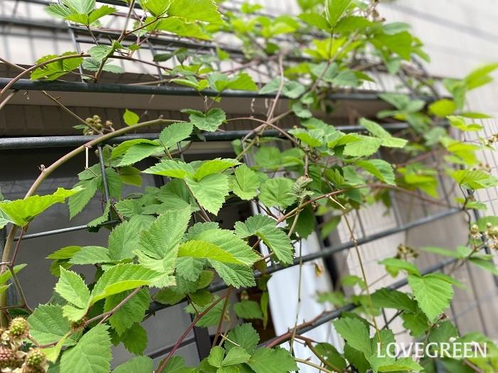LOVEGREEN編集部のブラックベリー  フェンスにツルを誘因してグリーンカーテンにしています。植え付けて3年目。今年はたくさんの実をつけました!
