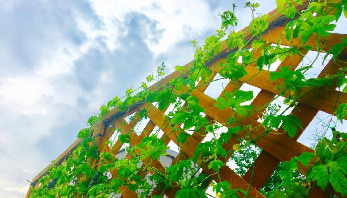 グリーンカーテン、または緑のカーテンとは、つる植物を絡ませてカーテンのように仕立てることを言います。植物で作るグリーンのカーテンだから、グリーンカーテン。シンプルでわかりやすい呼び名です。