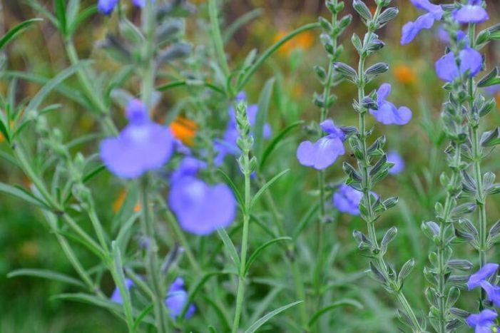 サルビア・アズレアは、宿根草のサルビアです。サルビア類の中では遅い開花で夏の終わりごろから開花が始まります。透明感のある空色で、背丈の高い空色の花が穂状にびっしりと咲く姿がとても美しく、庭や花壇に植栽すると目を引きます。葉の色のシルバーグリーンも涼し気です。