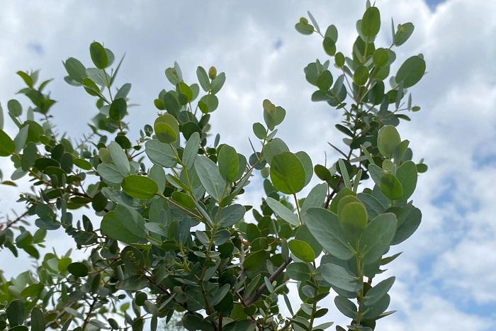 科名:フトモモ科 分類:常緑高木 ユーカリは南半球を原産とする常緑高木で、その種類は何百ともいわれています。ユーカリはとても大きくなる庭木なので、剪定や管理、植える場所に注意が必要です。