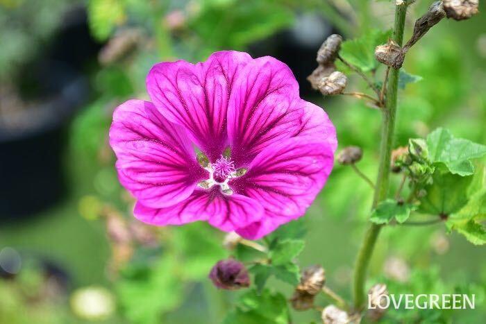 コモンマロウは和名をウスベニアオイとうハーブです。草丈高く生長するので、ポタジェガーデンのなかでアクセントになります。春から初夏にかけて咲く花で作るマロウティーは、真青できれいな色をしていますが、そこにレモンを入れるとピンク色へと変化します。