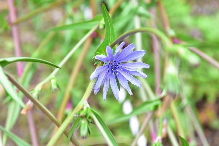 チコリは、キク科のハーブ。初夏から夏の間、とても美しい透明感のある淡い青い花を咲かせます。この花の特徴は、お昼ぐらいまでで花が閉じてしまうこと。草丈1m~1.5mくらいには生長し、枝のあちこちに毎朝開花します。  最近、カラーリーフやサラダ用ハーブとして「リーフチコリ」が苗もので流通するようになりましたが、リーフチコリもそのまま生長させると、写真のような青い花が開花します。
