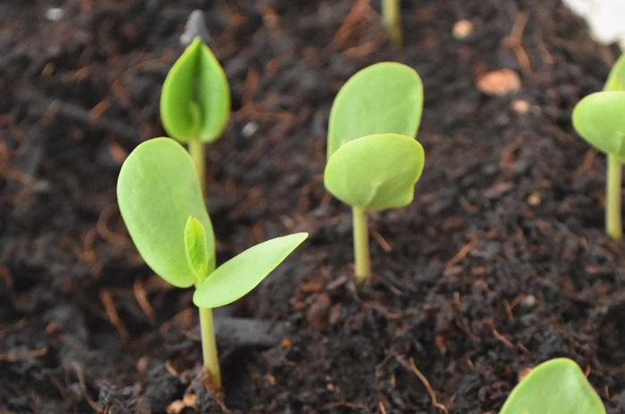 バタフライピーは種から育てることもできます。種まきは5月以降が適時です。移植を嫌うので、直まきか、ポット苗に直まきして植え付けまで育てるのが簡単な方法です。