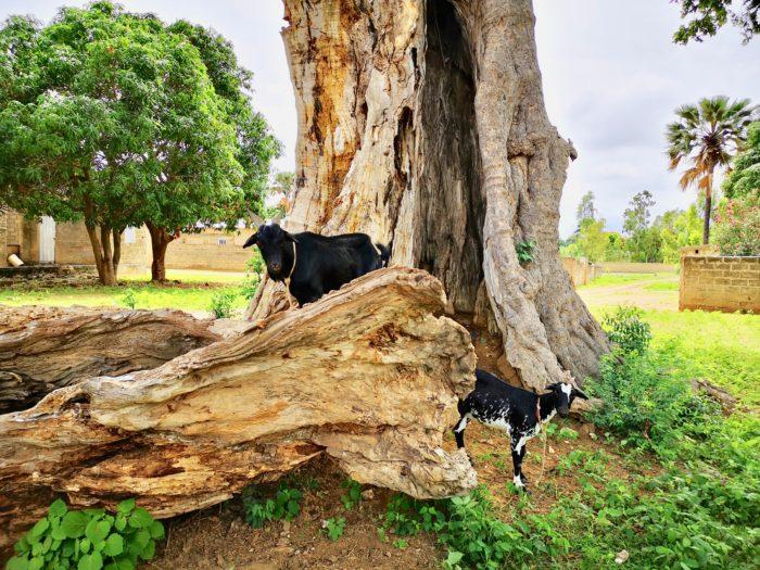 またその近くには、今度はヤギが・・・・・昨日のハチワレ猫さんと同じく、このヤシの実を食べたから黒くなったのか?とは思わなかった。