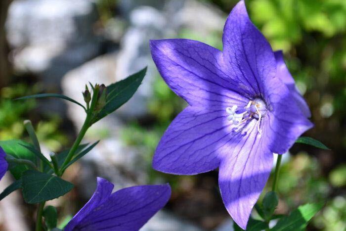 秋の七草で知られ秋の花のイメージが強いキキョウですが、真夏の暑い時期でも涼しげに咲き続ける丈夫な花です。日本の気候に適した草花なので、一度根付けば植えっぱなしで大丈夫です。