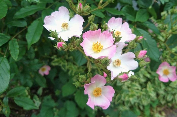 バラは花の女王とも呼ばれるくらいの圧倒的な存在感を放つ花です。ガーデニングには欠かせない存在と言っても過言ではありません。バラには春だけに咲く一季咲きから四季咲きや、春と秋に開花するものなどがあります。