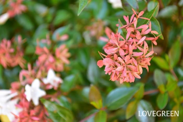 開花時期は6~11月で、枝先に白や淡いピンク色をした釣鐘のような形をした小さい花をたくさん咲かせます。ガクが残った姿が羽子板遊びの羽(衝羽根)に似ていることから和名で「花衝羽根空木(ハナツクバネウツギ)」といいます。スイカズラ科ツクバネウツギ属の植物の総称です。