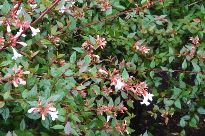 科名:スイカズラ科 分類:半常緑低木 アベリアはこんもりとブッシュ状に大きくなる樹形が特徴的な半常緑低木です。関東では常緑ですが、地方によっては冬に落葉します。  花色は白やピンク、葉は光沢のあるグリーンや斑入り種もあります。非常に丈夫で育てやすいので、人気のある庭木です。