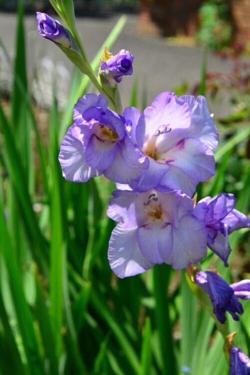 すらりと伸びた花茎に整然と並んで咲く姿が凛とした雰囲気のあるグラジオラス。品種もたくさんあって花の色も豊富で写真のような薄紫色のものもあります。