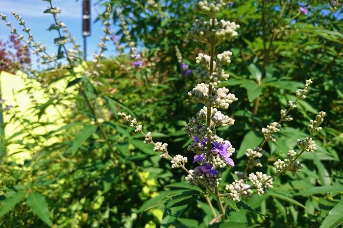 科名:シソ科 分類:落葉低木 セイヨウニンジンボクは初夏から夏に薄紫色の花を咲かせる落葉低木です。低木といっても2~3m程まで生長します。夏の暑い盛りに涼し気な花を咲かせてくれる庭木です。枝を横に広げる樹形と大きなモミジのような形状の葉も美しく、スモールスペースのシンボルツリーに向いています。