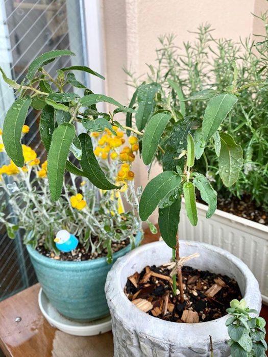 植物好きのご主人はベランダでも様々な植物を育てています。手前の植物はレモンユーカリ。はぴちゃんとるいぱちちゃんとために食用として育てているそうです。