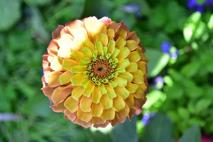 ジニアは庭の花が少なくなる夏に、色鮮やかな花を咲かせてくれます。ヒャクニチソウという和名があるくらい開花期が長いのも特徴です。ジニアは花色も豊富で、ピンクや黄色、オレンジ、赤、グリーン、複色等があります。