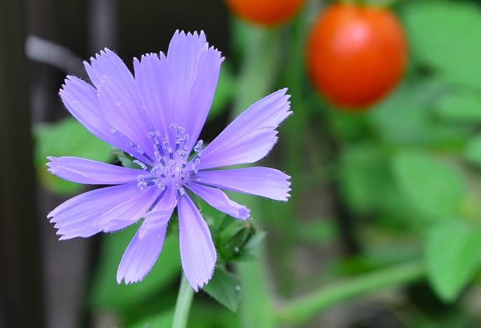 チコリーは僅かに苦みのある葉がクセになる野菜です。明るいグリーンや濃い紫の品種があるので、ポタジェガーデンのなかでカラーリーフとしての役割も果たしてくれます。  チコリーの葉の上に冷菜を載せてチコリーボートにすると、食卓を楽しく演出できます。