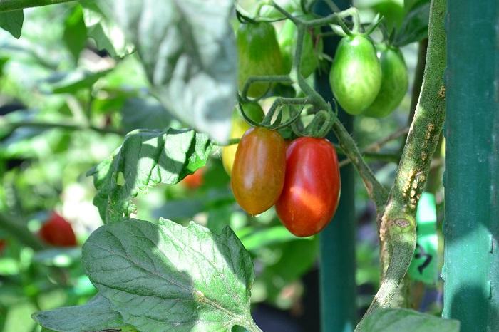 ミニトマトはとても生長が早く、初夏に植え付けてから初秋まで次々と収穫が楽しめる野菜です。ポタジェガーデンでミニトマトを育てれば、夏の間はトマトに困ることがないでしょう。採れすぎたトマトは冷凍保存して、トマトソースやスープに利用できます。