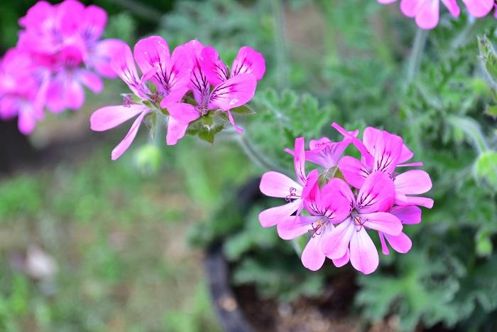 ゼラニウムは葉に芳香があり、花も楽しめるハーブです。ゼラニウムの中でも香りが強い品種は虫除け効果があると信じられてきました。ゼラニウムの葉に触れるととてもよい香りが楽しめます。虫除け効果の真偽はわかりませんが、ポタジェガーデンのお手入れの途中に香りに癒されるのも楽しみの一つになりそうです。