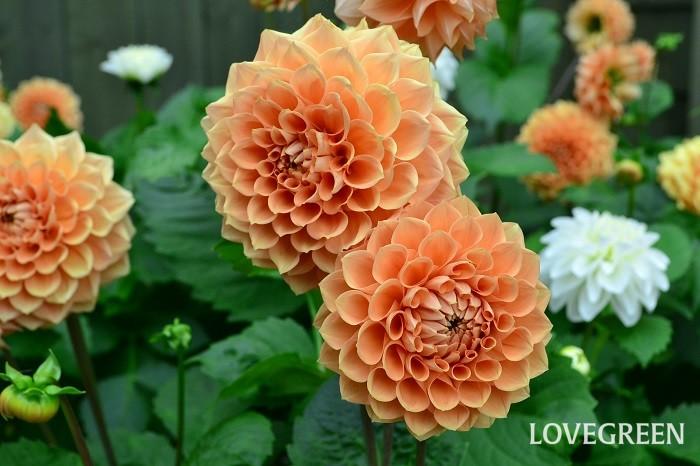 ダリアは花色、咲き方、花の大きさとバリエーションが豊富で育てやすい、人気の花です。特に大輪のダリアは庭の中で圧倒的な存在感を放ちます。太陽にも負けないくらいの華やかなダリアは夏のガーデニングにおすすめの花です。