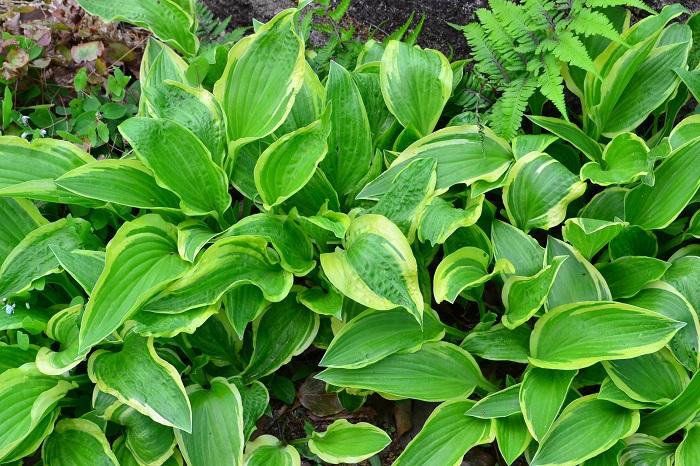 ギボウシは別名ホスタとも呼ばれる、葉を観賞する植物です。半日陰を好み、シェードガーデンの強い味方です。初夏には白や薄紫の花を咲かせます。