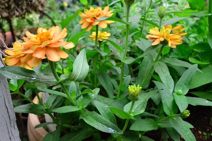 春に植え付けた草花やハーブが、旺盛に生長してくる6月。植物によっては、そのままにせずに切り戻した方が秋まで長くたくさんの花を見ることができたり、収穫量が増えたりします。