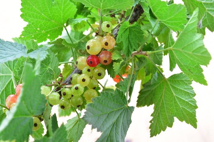 スグリの特徴 スグリは美しい果実を付ける落葉低木です。以前はユキノシタ科スグリ属に分類されていましたが、現在はAPG体系によりスグリ科スグリ属とされています。  スグリの仲間はおよそ150種あると言われていて、ヨーロッパや北アメリカ、日本や中国、東南アジアなど、北半球に分布しています。  初夏に熟す果実は、赤や白、黒、グリーンなどがあり、半透明でビーズや宝石ように美しいのが特徴です。