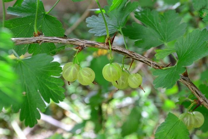 グーズベリー  グーズベリーは、セイヨウスグリとアメリカスグリの総称です。セイヨウスグリもアメリカスグリもスグリ科の仲間なので、グーズベリーはスグリの1種ということになります。  グーズベリーと呼ばれる、セイヨウスグリもアメリカスグリも枝に棘があるのが特徴です。