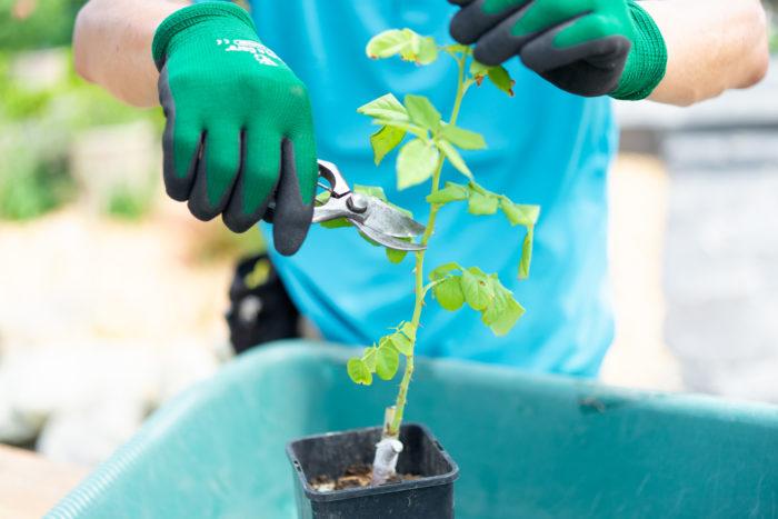 新苗は、蕾が開く前に剪定してあげましょう。植物は、開花させるために、過度に体力を消耗します。新苗の場合、開花させず、力強い新梢を作ることに、その体力を使わせてあげましょう。剪定する位置は、しっかりとした葉を3枚残してカットします。