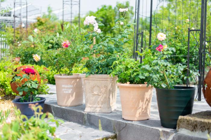 バラを植える鉢は深鉢タイプがおすすめ。形状や大きさ、材質によってもバラの育ちに違いが出るので、お店に相談して選びましょう。