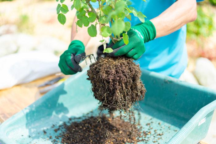 5~6月に植え替える場合、根を傷めないように植え替えます。ただ、地表部分の土は水やりや肥料の影響で硬くなり劣化しており、鉢底部分も同様に劣化が進んでいるので、軽く取り除いてあげましょう。
