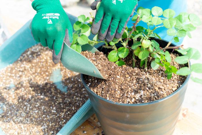 植え替える場合は、馬ふん堆肥と夢油肥を混ぜた土で植え付けをします。植え替えをしない鉢は、混ぜ合わせた馬フン堆肥と夢油肥を、バラの土の表面をほぐすように混ぜ合わせてください。