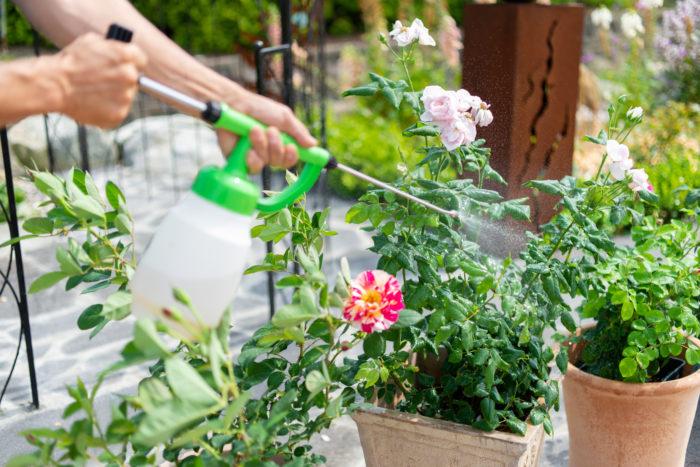 希釈した液を噴霧器に入れてバラにスプレーしましょう。この時、葉の裏表だけでなく、茎にもしっかりと噴霧します。