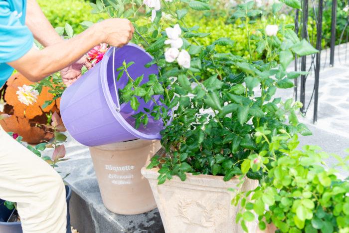 余った希釈液は、鉢底から流れ出るぐらいたっぷりと土にかけてあげることで、土に栄養を与えつつ、液肥の中にいる微生物たちが、空気が通りやすい、ふかふかの土質に改善していってくれます。バラの黒点病を防ぐ効果も期待できますよ。