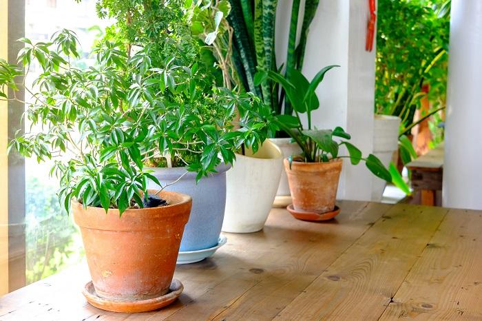園芸店やお花屋さん、ホームセンターで販売されている植物は屋外で育てる植物と室内で育てる植物の大きく2つのタイプに分けられます。