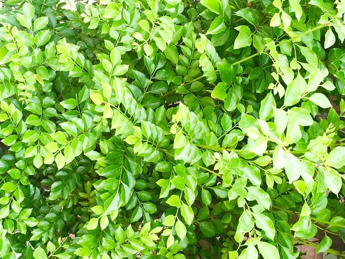 科名:モクセイ科 分類:常緑~半常緑高木 シマトネリコは涼やかな樹形が特徴の常緑~半常緑の高木です。その樹形が美しく庭木として人気があります。シマトネリコは地植えにするととても大きくなるので、鉢植えでの管理をおすすめします。
