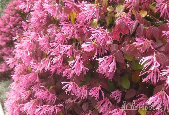 これは紅い花が咲くベニバナトキワマンサク。
