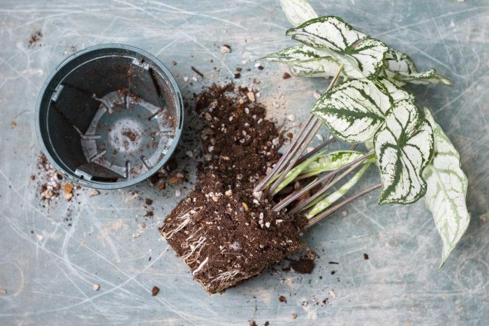 まずは観葉植物を鉢から抜いて、根鉢(根が張っている土の部分)を崩していきましょう。