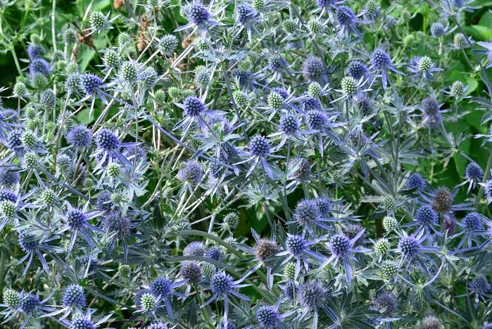 さまざまな多年草を何層にも混植したボーダーガーデンでは、エリンジウムがよく使われています。花にとどまらず苞や茎も青く色づき、長持ちをするので、ドライフラワーとしても利用されます。