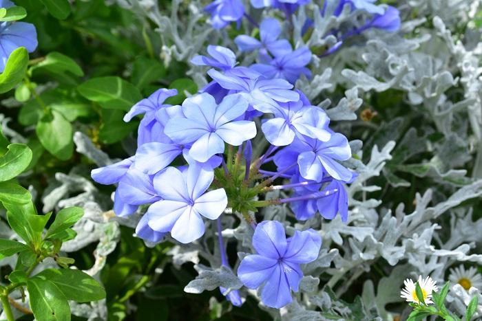 ルリマツリは、春から秋までさわやかな青い花を繰り返し楽しめるイソマツ科の半耐寒性常緑低木。別名プルンバゴとも呼ばれます。半つる性で伸びてくると枝先が垂れてくるので、支柱やトレリスなどに絡ませると涼やかな立体的な空間に仕立てることができます。