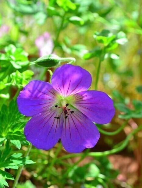 もともとのゲラニウムの花の時期は主に初夏であるのに対して、ゲラニウム・ロザンネイは初夏から晩秋までと開花期間が長いゲラニウムです。最近はロザンネイ以外の品種でも、晩秋まで開花する品種がいくつかあります。東京の夏でも問題なく開花しているので耐暑性もあります。庭や花壇に植えておくと、初夏から秋まで次から次へととてもきれいな紫色の花を咲かせてくれます。