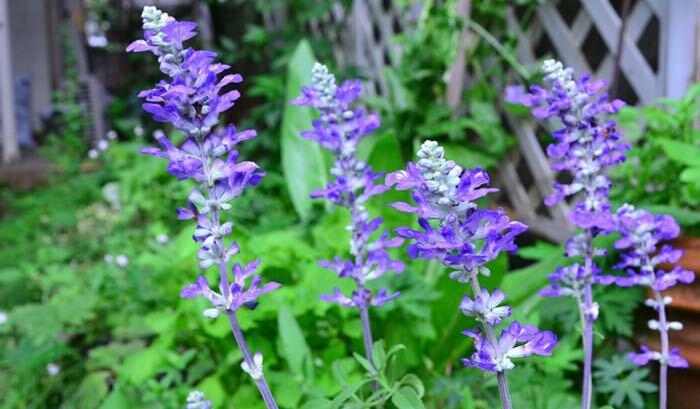 ブルーサルビアはもともとは原産地では宿根草ですが、耐寒性がないため日本では一年草として分類されています。開花期間が長く、暑さにも強いので夏から秋にかけての公園や街路などの公共花壇でもよく用いられます。