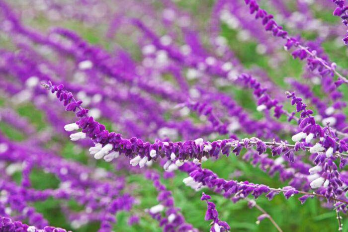 風に揺れるようにそよぐセージの花は、残暑が残る初秋に咲き始めます。セージは色や咲き方ともに種類が豊富です。ハーブとしても有名で葉や茎に香りがある品種も多くあります。セージは赤やピンクの他に、ブルーや紫といった寒色系の花色も多いのも魅力です。