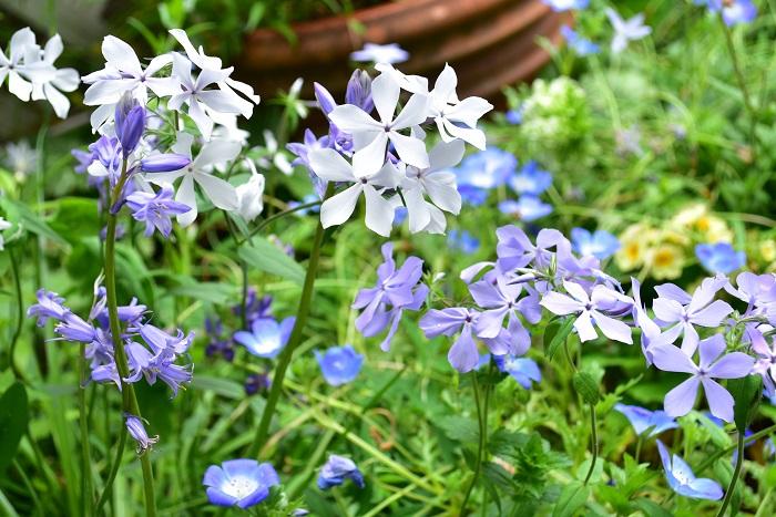 夏だけでなく、春に咲く青い花は素敵な草花がいっぱい!  球根類は夏が過ぎると販売が始まり、花苗は晩秋から年明けにかけて流通が始まります。  もしも若い未開花株が霜の降りる前に手に入るなら、晩秋までに庭に植え付けると春植えにするよりしっかりと根付いてたくさんの花が楽しめるのでおすすめです。