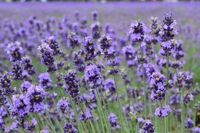 ラベンダーははじめとしてハーブの花は、6月に見ごろを迎えるハーブがいっぱい!  また、6月はたくさんのハーブが園芸店に並ぶ季節です。今年は新しいハーブにチャレンジしてみませんか。
