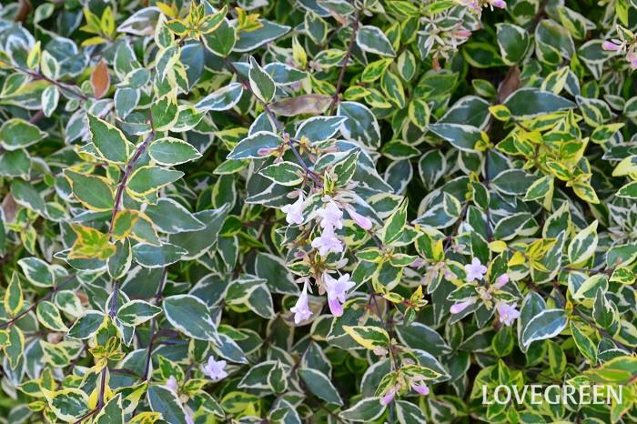 アベリアの花色は主に白の品種とピンクの品種の2種になります。そのほか、葉に白や黄色の斑が入る品種もあります。